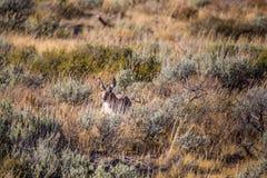 Antilope in den wild lebenden Tieren stockfotos