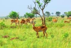 Antilope in der afrikanischen Savanne Stockbilder
