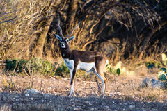Antilope di Blackbuck Fotografie Stock