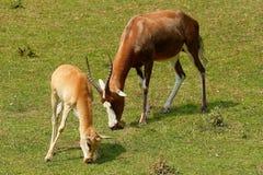 Antilope di Blesbok Immagini Stock Libere da Diritti