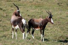 Antilope di Blesbok o di Bontebok Fotografie Stock Libere da Diritti