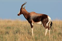 Antilope di Bontebok Fotografia Stock Libera da Diritti