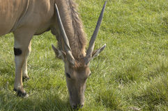 Antilope di Eland Immagini Stock Libere da Diritti