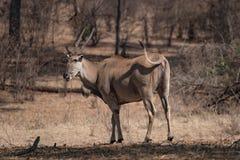 Antilope di eland che cammina nel cespuglio immagini stock libere da diritti