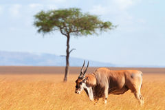 Antilope di eland, masai Mara Fotografie Stock