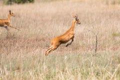 Antilope di Gerenuk che salta attraverso l'aria fotografie stock