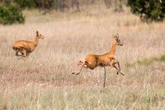 Antilope di Gerenuk in fuga immagine stock