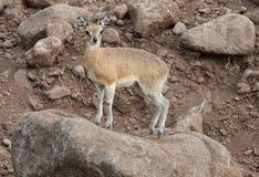 Antilope di Kilpspringer che sta su una roccia immagine stock