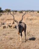 Antilope di Kudu Fotografie Stock