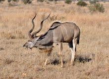 Antilope di Kudu Fotografie Stock Libere da Diritti