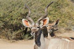 Antilope di Kudu - fauna selvatica africana - ritratto della mucca e del toro Immagini Stock