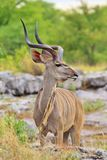 Antilope di Kudu - fondo africano della fauna selvatica - posa del ricciolo del toro Fotografie Stock Libere da Diritti