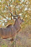 Antilope di Kudu - fondo africano della fauna selvatica - posa del toro Immagine Stock Libera da Diritti