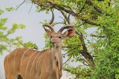 Antilope di Kudu - fondo africano della fauna selvatica - riccioli del toro Fotografie Stock Libere da Diritti