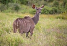 Antilope di Kudu nel Sudafrica fotografia stock