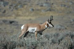 Antilope di Pronghorn Fotografie Stock Libere da Diritti