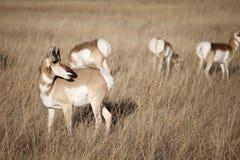 Antilope di Pronghorn fotografie stock