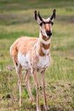 Antilope di Pronghorn Immagine Stock