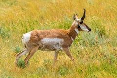 Antilope di Pronghorn Fotografia Stock Libera da Diritti