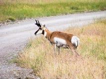 Antilope di pronghorn americana che attraversa la strada fotografie stock