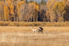 Antilope di Pronghorn in fregola Fotografie Stock