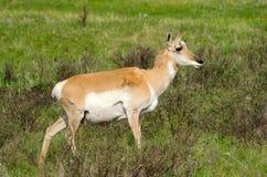 Antilope di Pronghorn. Parco nazionale di Yellowstone fotografia stock