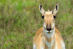 Antilope di Pronghorn, parco nazionale di Yellowstone immagine stock libera da diritti
