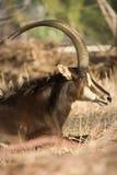 Antilope di Sable Immagini Stock Libere da Diritti