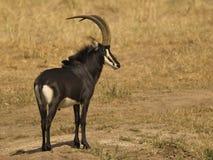 Antilope di Sable Fotografie Stock Libere da Diritti