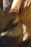 Antilope di Sable (roosevelti del Niger del Hippotragus) immagini stock