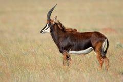Antilope di Sable, Sudafrica Immagini Stock Libere da Diritti