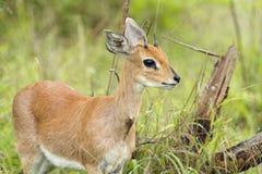 Antilope di Steenbuck Immagine Stock