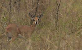 Antilope di Steinbuck Immagini Stock