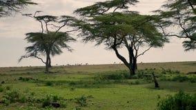 Antilope, die auf einer grünen Wiese oder der afrikanischen Savanne zu den Akazienbäumen weiden lässt stock footage