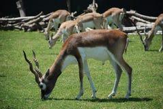 antilope die doorbladert Stock Foto's