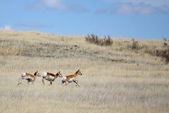 Antilope die over prairie loopt stock afbeeldingen