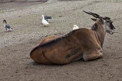 Antilope in DIERENTUIN 2 Royalty-vrije Stock Foto