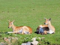 Antilope du sud de deux Lechwe Photo libre de droits