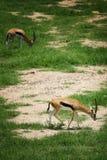 Antilope due che mangia erba sul pavimento fotografie stock libere da diritti