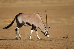 Antilope e scoiattolo del Gemsbok fotografia stock libera da diritti