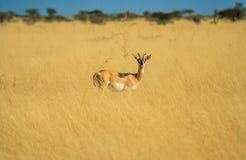 Antilope in einer Afrika-Savanne lizenzfreie stockbilder