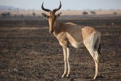 Antilope en Afrique Photographie stock libre de droits