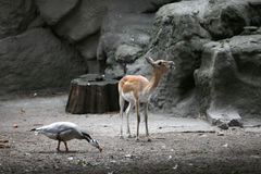 Antilope et canard dans le zoo Images libres de droits