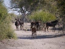 Antilope et veau de sable Image libre de droits