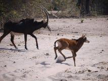 Antilope et veau de sable Photographie stock libre de droits