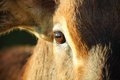Antilope eye Stock Image