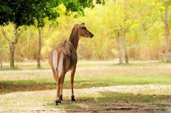 Antilope femminile del Nilgai fotografia stock libera da diritti