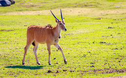 Antilope femminile di eland Immagini Stock Libere da Diritti