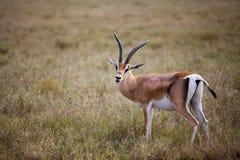 Antilope gesehen auf eine Safari in Afrika Stockfotografie