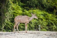 Antilope in gevangenschap stock afbeeldingen